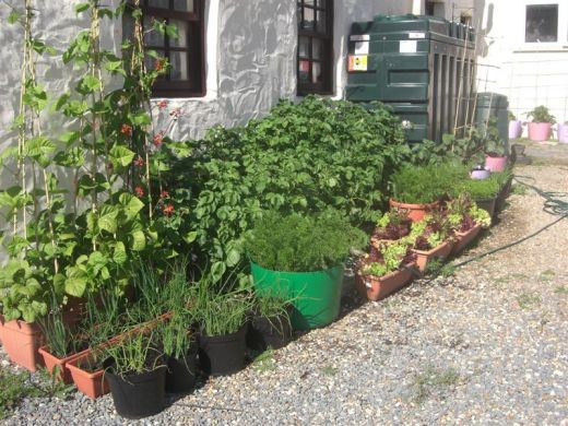 Container Gardening. Vegetables in containers.