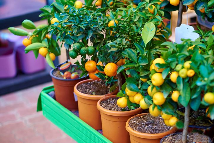 Young citrus trees in pots